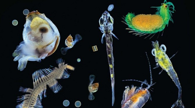 A sampling of plankton collected from the Pacific Ocean. A mixture of multicellular organisms small zooplanktonic animals, larvae and single cell protists. Credit: Christian Sardet/Tara Expedition